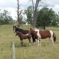 Caballos en Las Cañadas / Horses at Las Cañadas