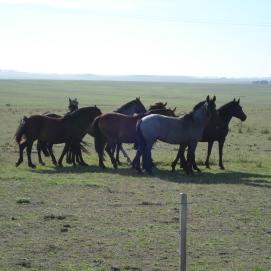 Criollos en Las Cañadas / Horses at Las Cañadas