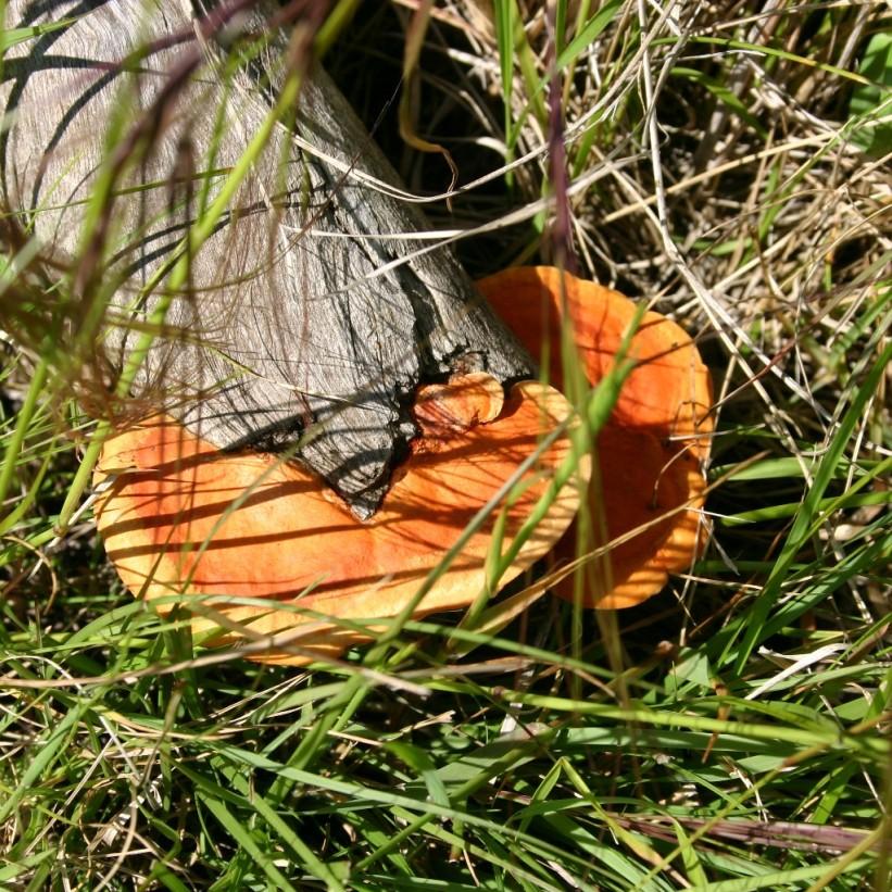 hongos de eucalipto